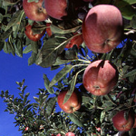 NZ apple imports given the go-ahead