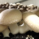 Good food & where it comes from – Adelaide Mushrooms
