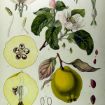 Seasonal Secrets – quinces