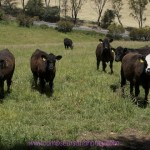 Good Food & Where it Comes From – The Facts About Feedlotting in Australia