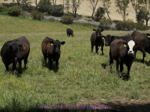 Black Angus cattle - the Balhannah Boys