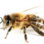 Kangaroo Island Bees & Their Role in Global Food Security