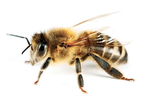 Kangaroo Island Ligurian bee