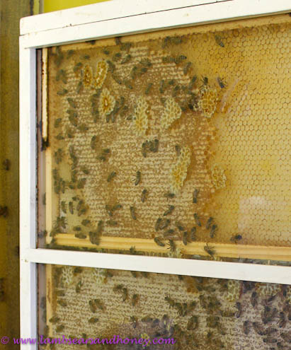 Kangaroo Island bees in transparent hive