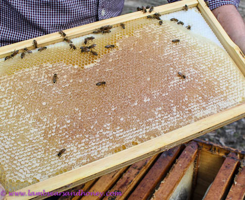 Kangaroo Island Ligurian bees