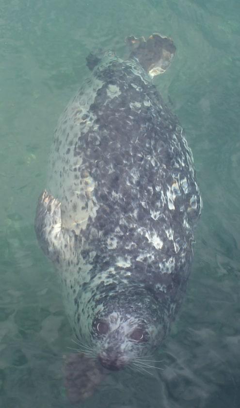 Seals, Victoria, Vancouver Island