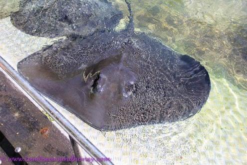 Stingray, Daydream Island
