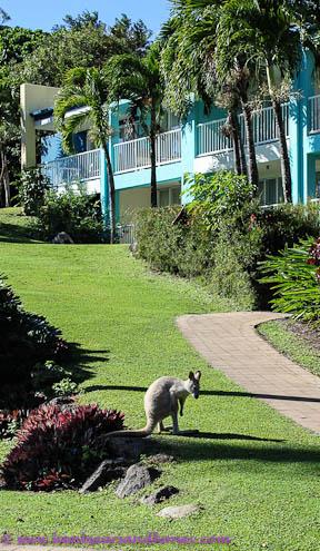 Daydream wallaby