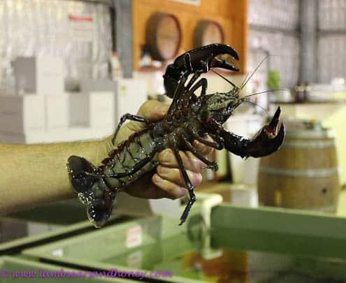 Freshwater shellfish Australian marron