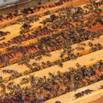 Bees and Honey – Two Different Canadian Ways