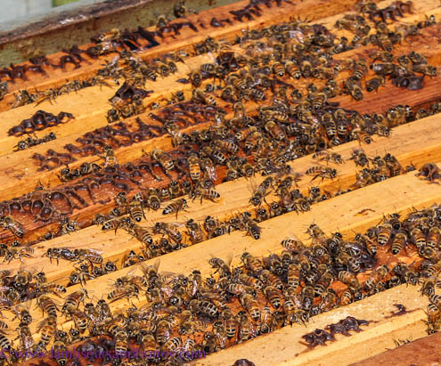 Tugwell Creek bees, Vancouver Island