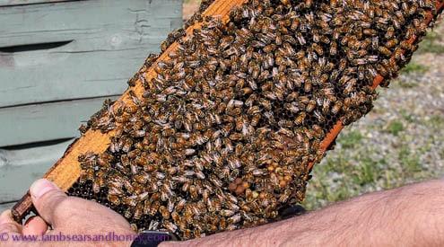 Surprised bees, Tugwell Creek Farm, BC
