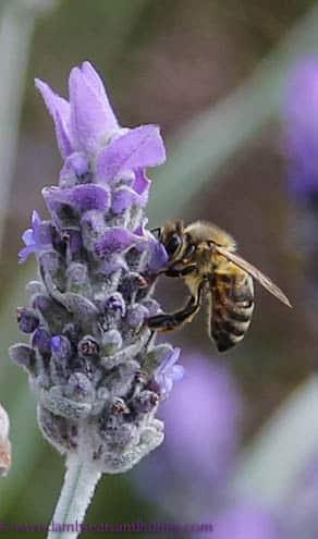 Spring lavender & bee