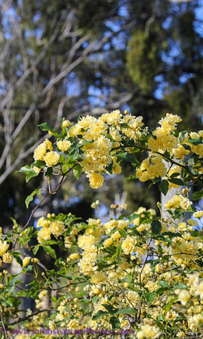 Spring flowers, Banksia Rose