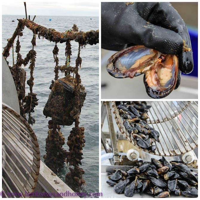 Dromana Bay mussels, Mornington