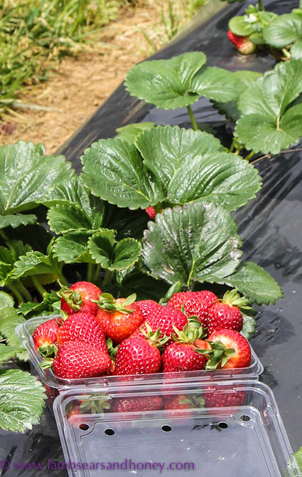 Strawberries, Sunny Ridge Farm
