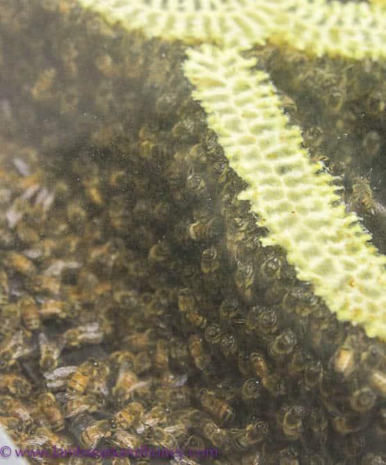 Pure Peninsula Honey bees