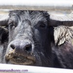 Buffalo Dairy Herd – A First for South Australia