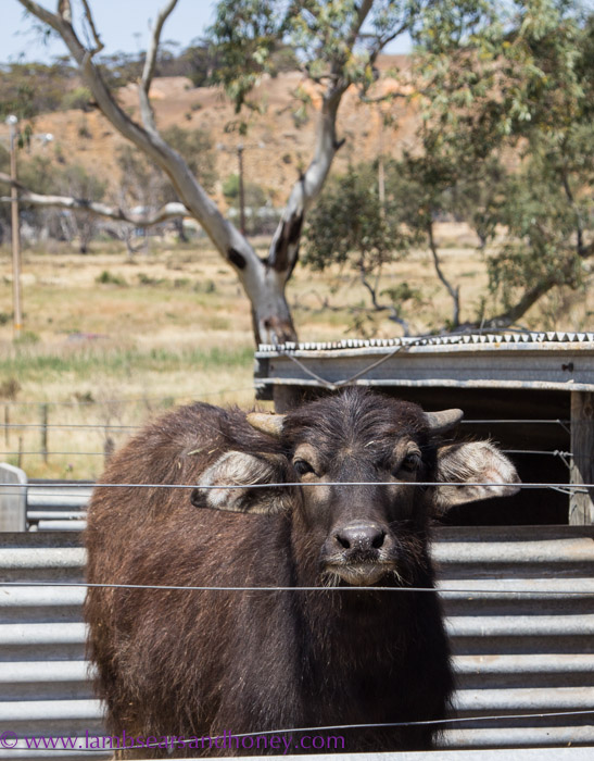 This buffalo steer will become Corey's new bull - eventually, like when his voice breaks..