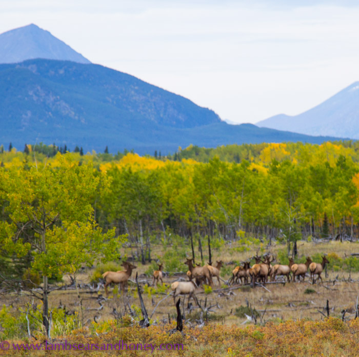 A herd of elk on the side of the road, Yukon.