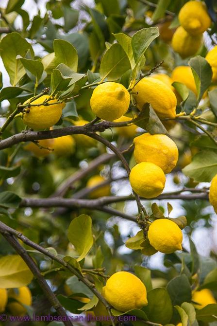 lemon tree - lemon Ginger crisps