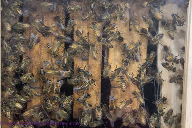 Buzz Honey bees in display hive