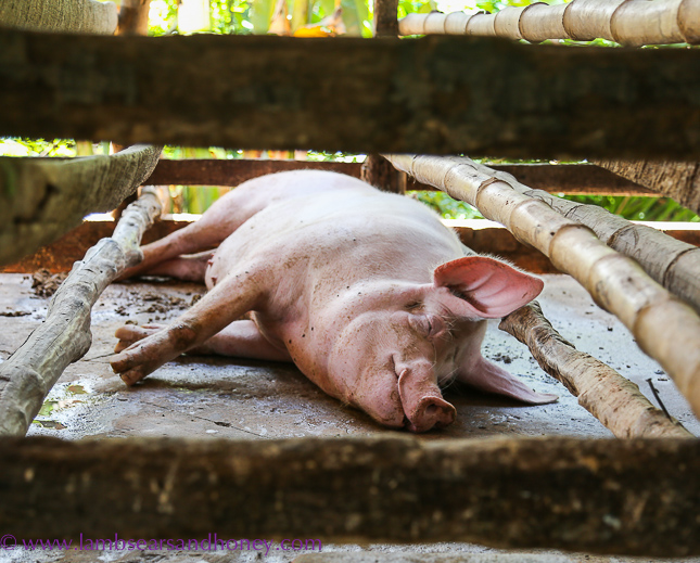 Laid back pigs - Cambodian food production