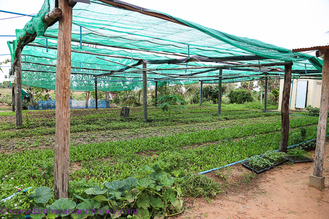 Agrisud supported organic produce - cambodian food production