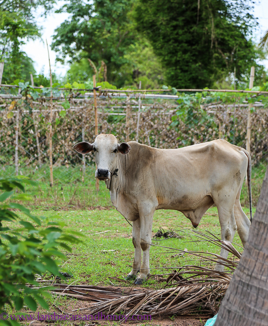 Cambodian food production and a cow