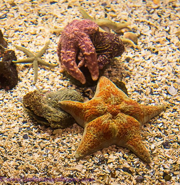 vibrant starfish at vancouver aquarium