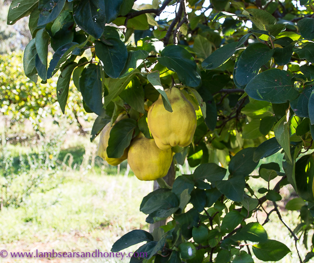 singing magpie produce quinces