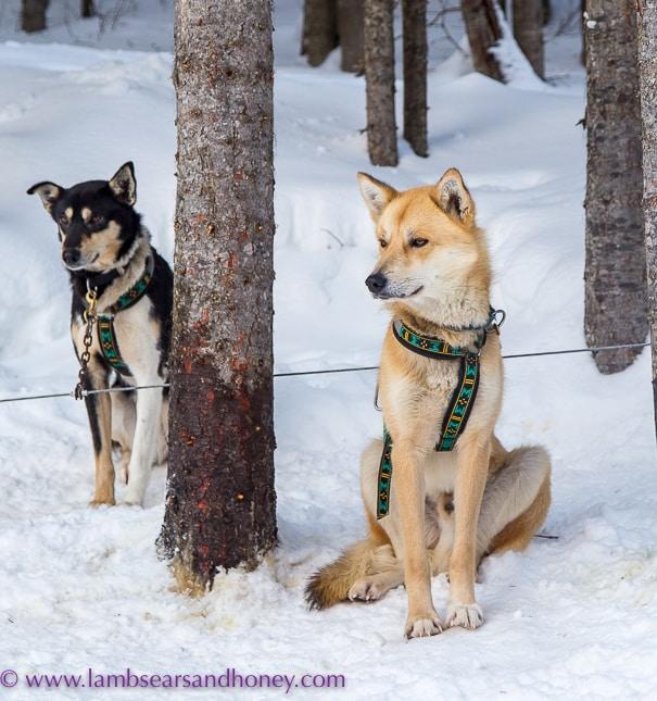 Waiting - dog sledding