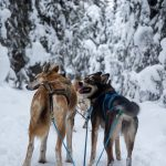 Dog Sledding with Mountain Man Adventures at Sun Peaks
