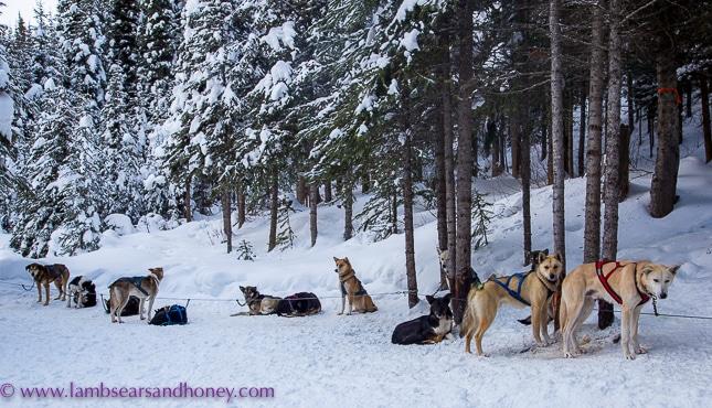 Dog team waiting to begin dog sledding