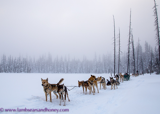 At the side of the frozen lake, dog sledding
