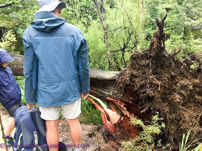 tree across track Wilsons Abel Tasman