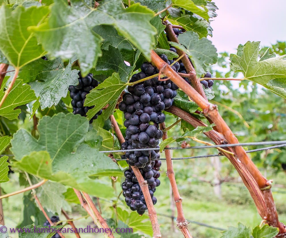 first shiraz grapes for balinese wine at hattens wines