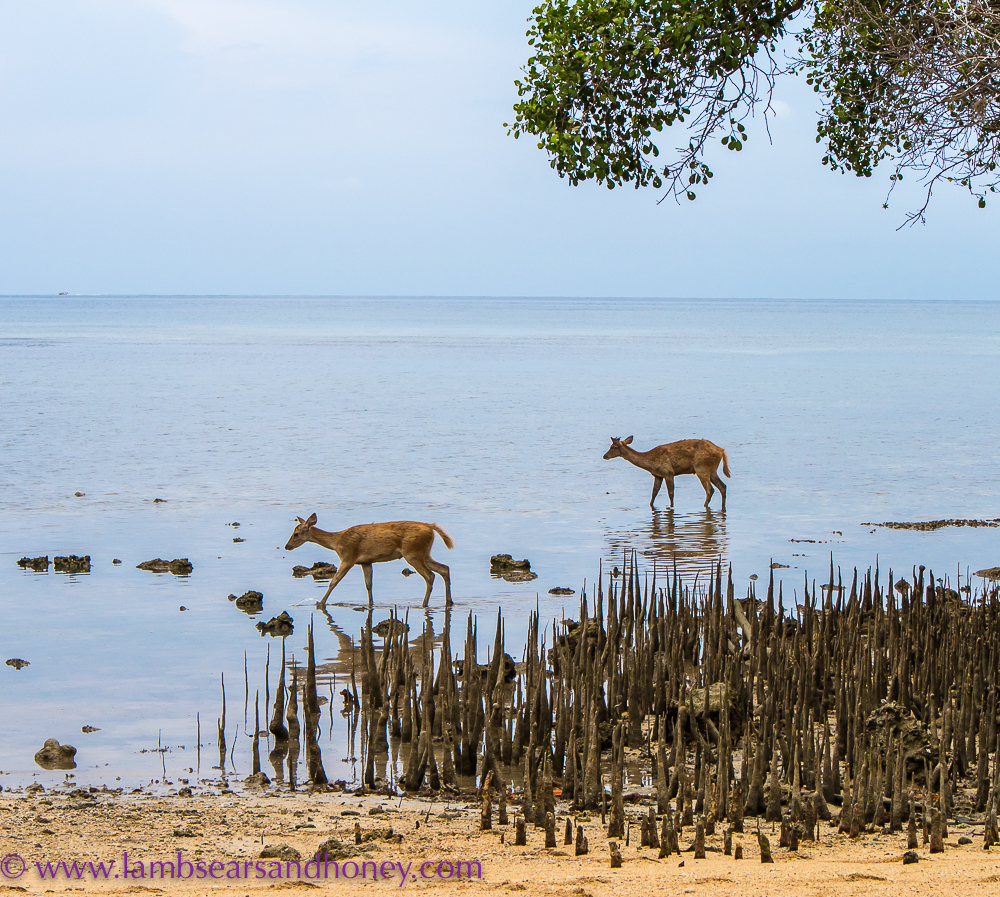 Deer at the menjangan