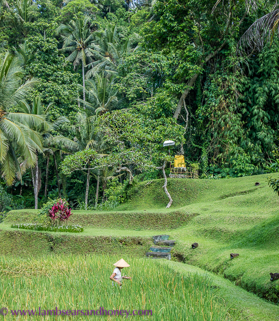 Rice fields - Luxury accommodation in Bali