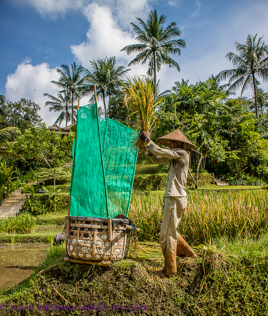 Rice farmer, four seasons sayan - luxury accommodation in bali