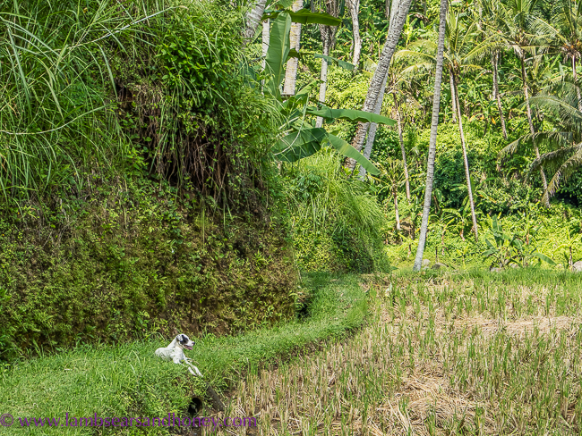 luxury accommodation in bali - four seasons sayan dog