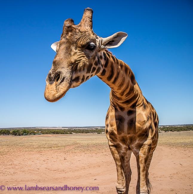 monarto zoo giraffe