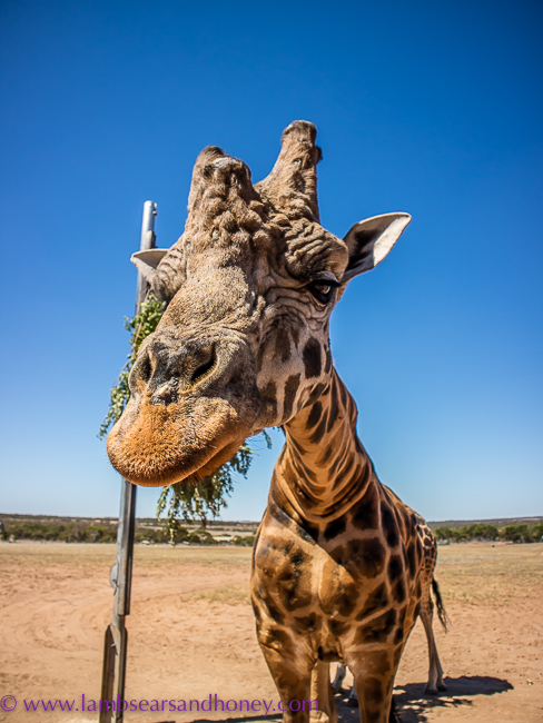 monarto zoo male giraffe
