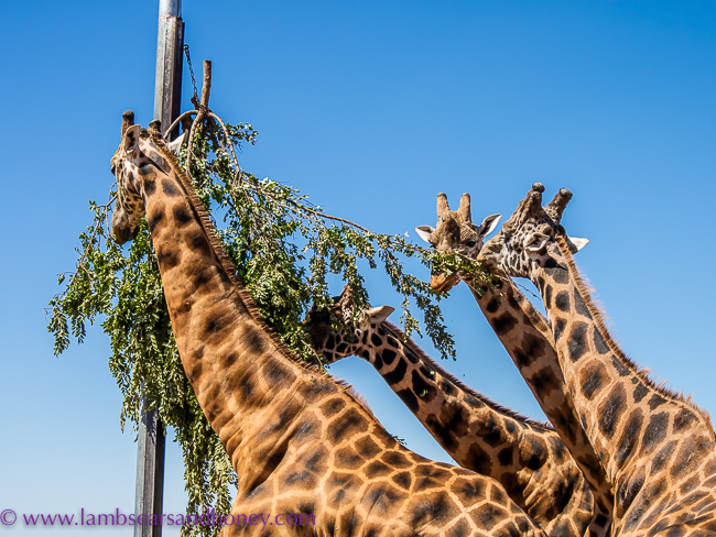 boy giraffes at monarto zoo