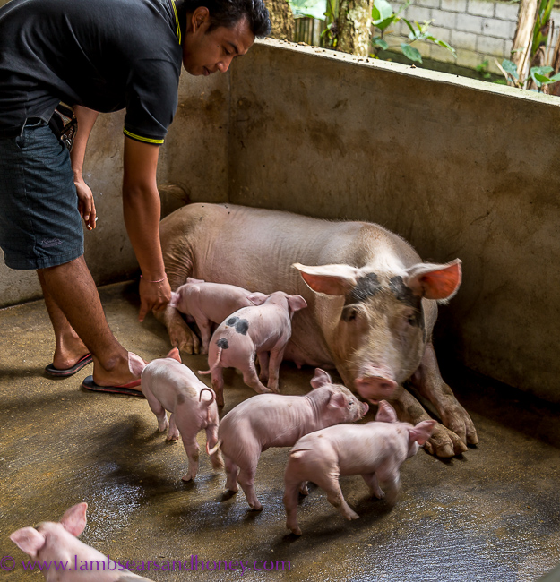 Bali sow and her piglets