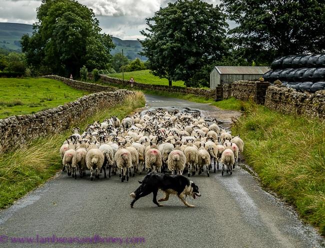 Yorkshire sheep dog
