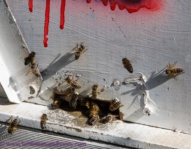 Urban Beekeeping - the girls set free