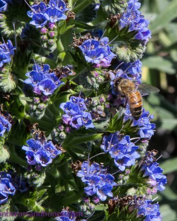 Bees in the echium - urban beekeeping