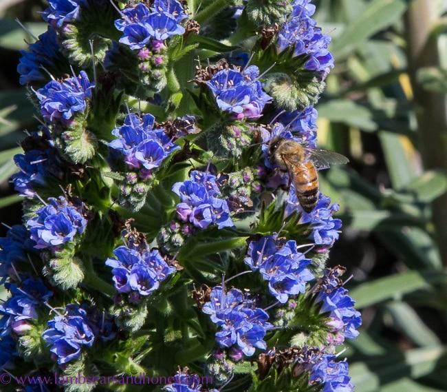 Bees in the echium - urban beekeeping