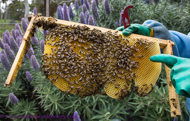 Bees and comb, Urban Beekeeping